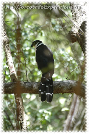 Birdwatching tour  Corcovado