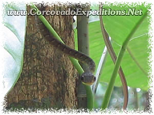 Snake in San Pedrillo Station in Corcovado National Park