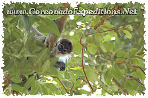 Baby spider monkey in Sirena Station in Corcovado National Park