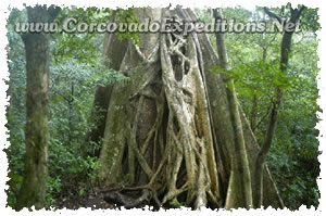 Trees in Sirena Station in Corcovado National Park