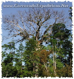 Big Tree in Sirena Station in Corcovado National Park