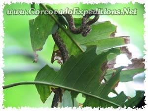 Culebra en Estacion Sirena del Parque Nacional Corcovado