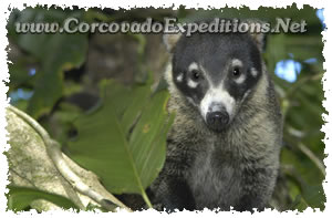 Racoon in Sirena Station in Corcovado National Park